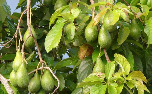Apukat atau Persea americana
