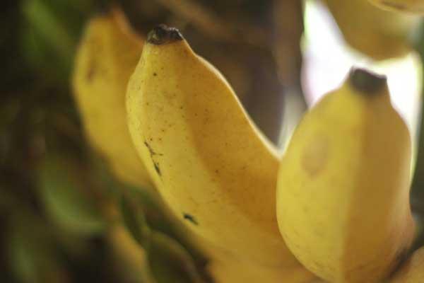 pisang-raja-sebagai-hiasan-pada-pengantin-jawa