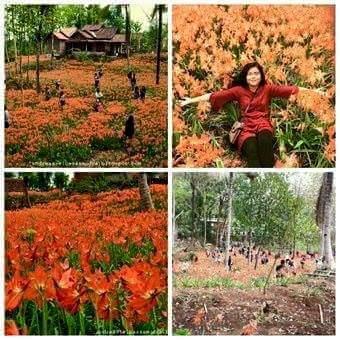 Pelaku Pengrusakan Bunga amaryllis di Gunungkidul Jogja